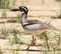 Beach-stone-curlew-3