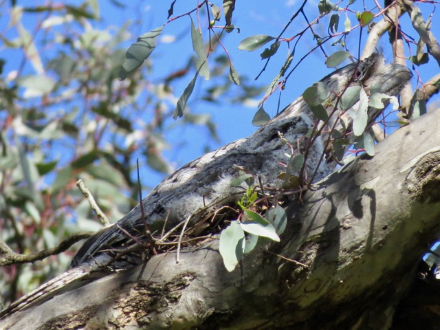 Female Tawny Frogmouth and chick