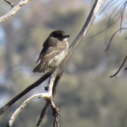 Grey Butcherbird Juvenile