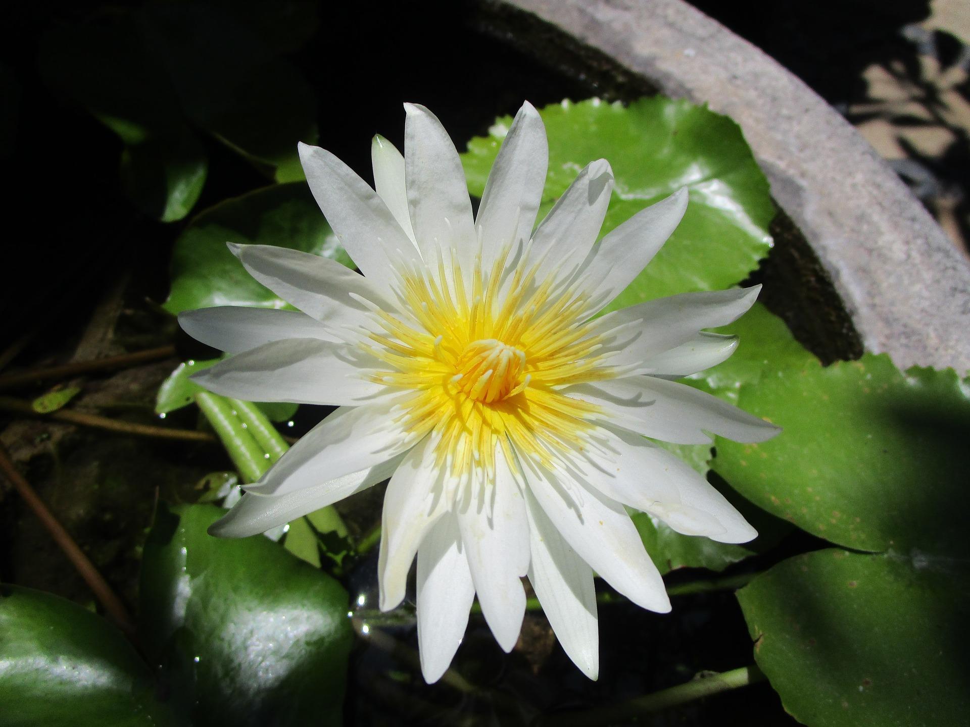 lotus-2354642_1920